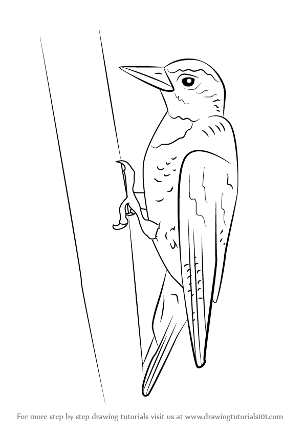 How To Draw A Yellow Bellied Sapsucker