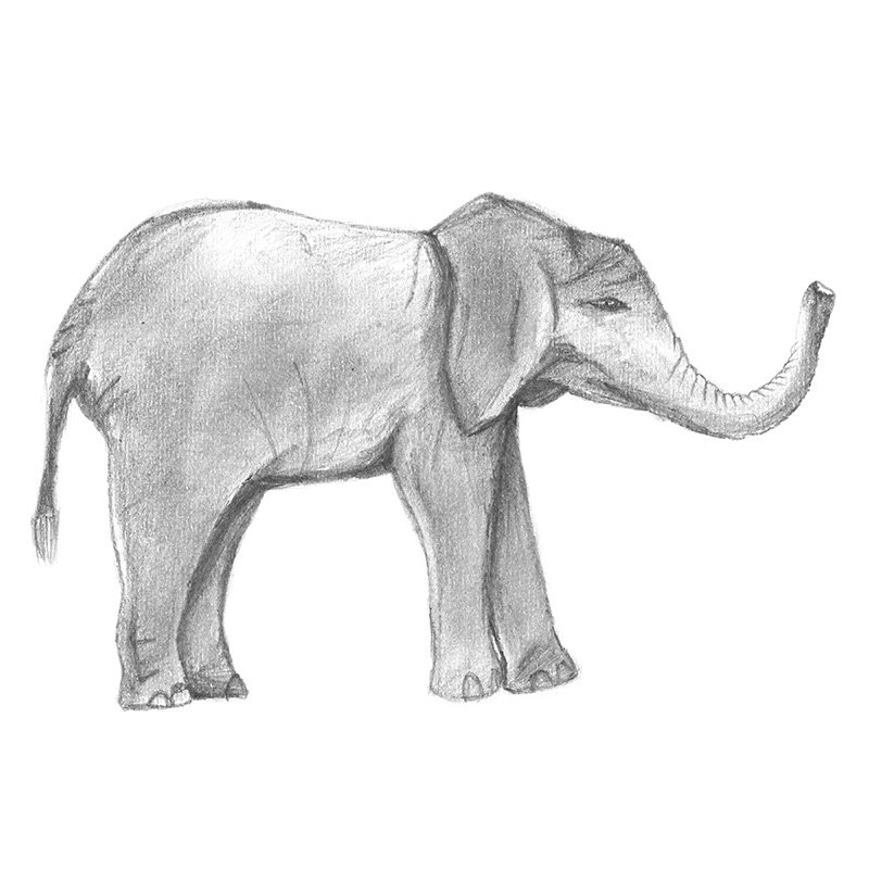 Baby elephant pencil drawing how to sketch baby elephant using pencils drawingtutorials101 com