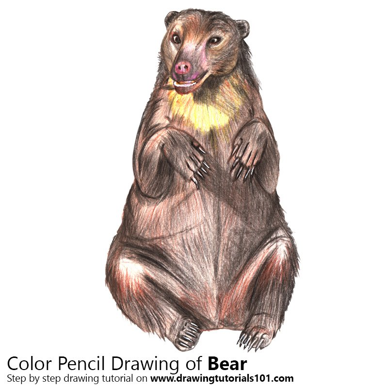 Bear Color Pencil Drawing