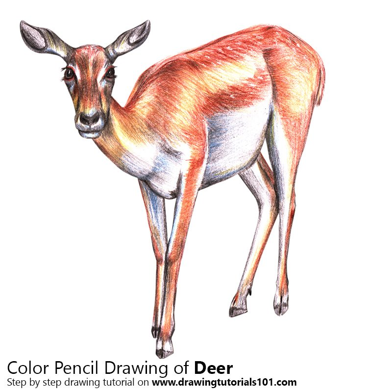 Deer Color Pencil Drawing
