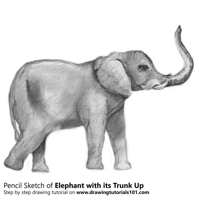 Pencil sketch of elephant with its trunk up pencil drawing