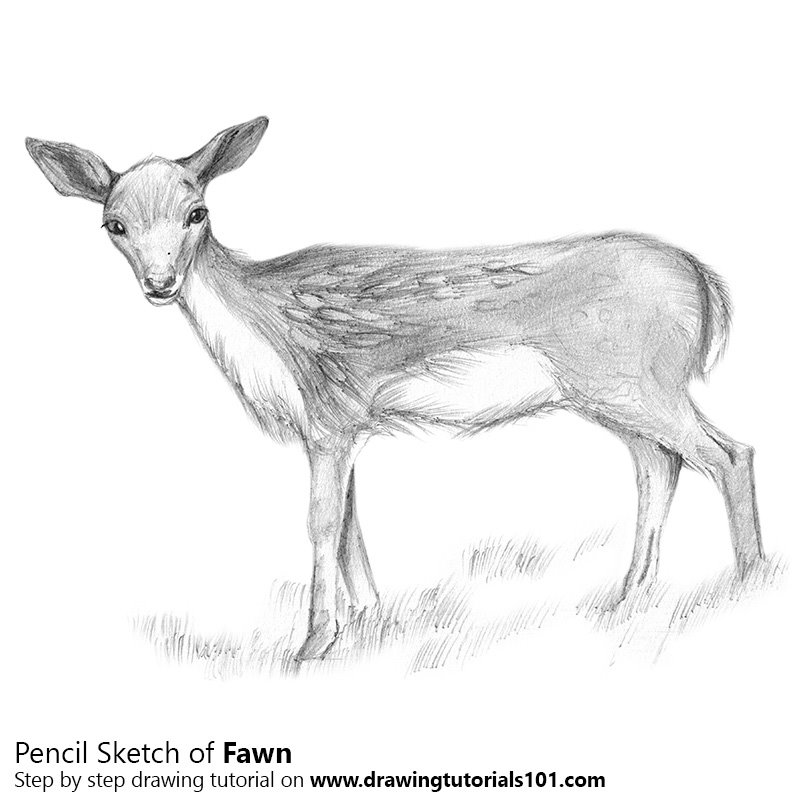 Baby deer aka fawn pencil drawing how to sketch baby deer aka fawn using pencils drawingtutorials101 com