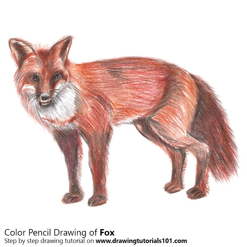 Fox Color Pencil Drawing