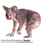 Koala Color Pencil Sketch