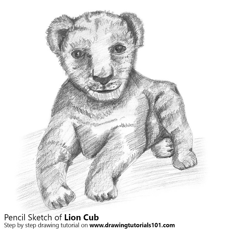 Pencil Sketch of Lion Cub - Pencil Drawing