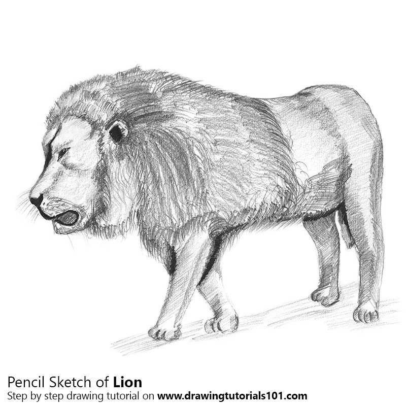 Lion pencil drawing how to sketch lion using pencils drawingtutorials101 com