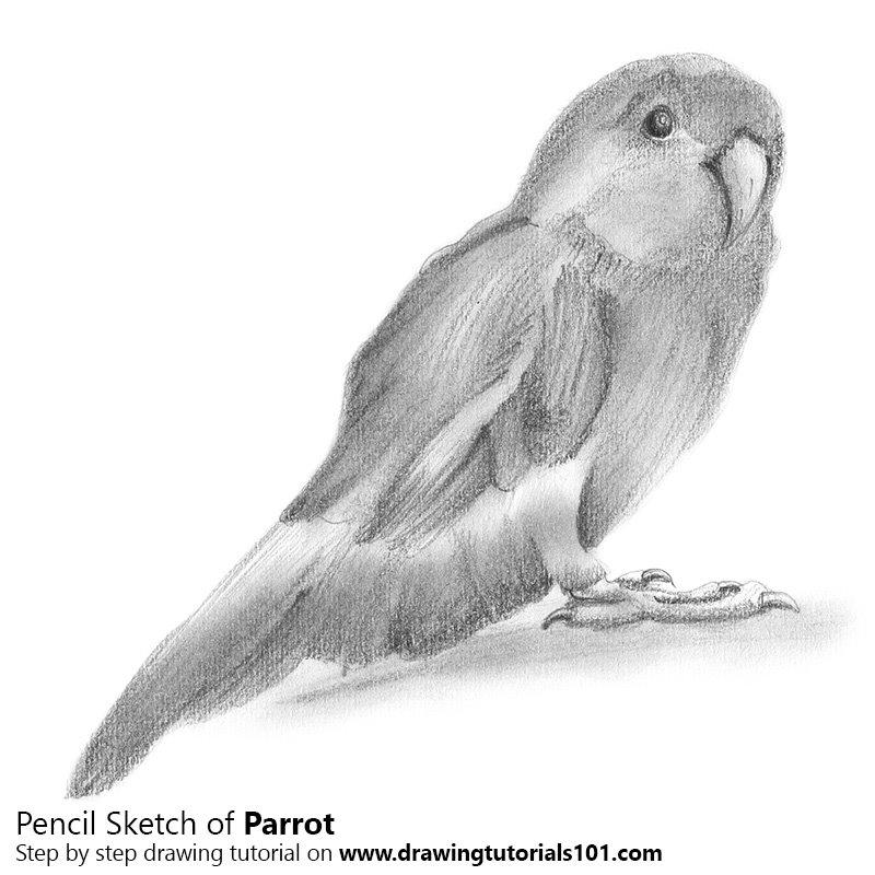 Parrot pencil drawing how to sketch parrot using pencils drawingtutorials101 com