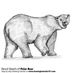 Polar Bear Pencil Sketch