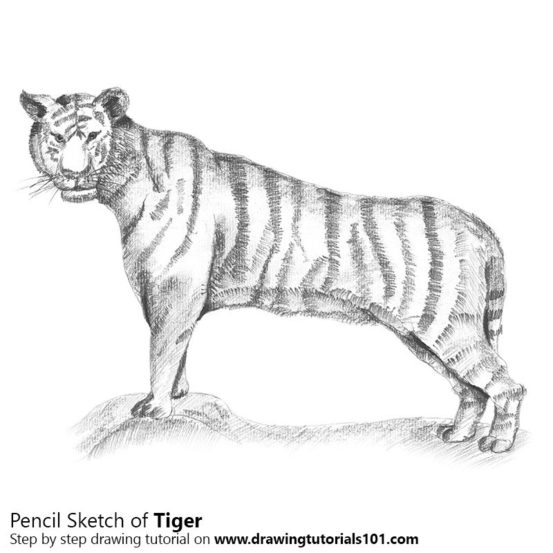 Tiger pencil drawing how to sketch tiger using pencils drawingtutorials101 com