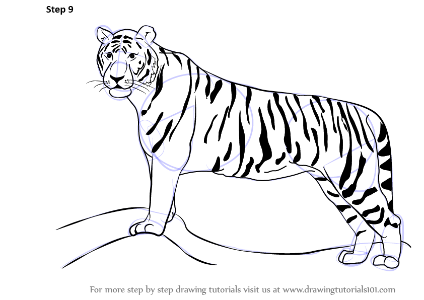 Tiger head drawing tutorial - photo#22