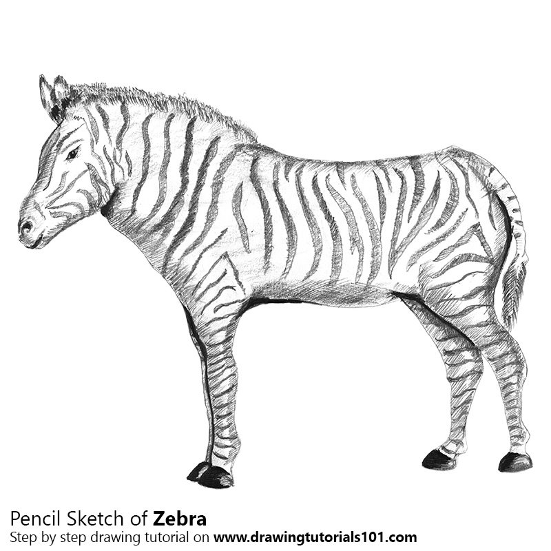 Zebra Pencil Drawing How To Sketch Zebra Using Pencils