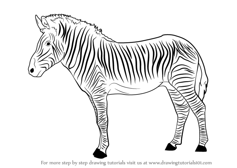 Learn how to draw a zebra zoo animals step by step drawing tutorials
