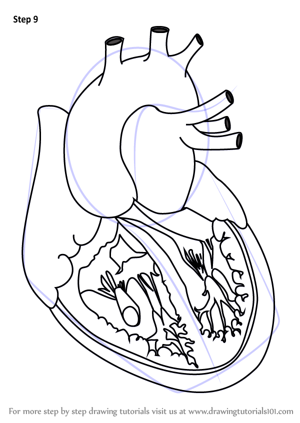 Learn How To Draw Heart With Veins Body Step By Step