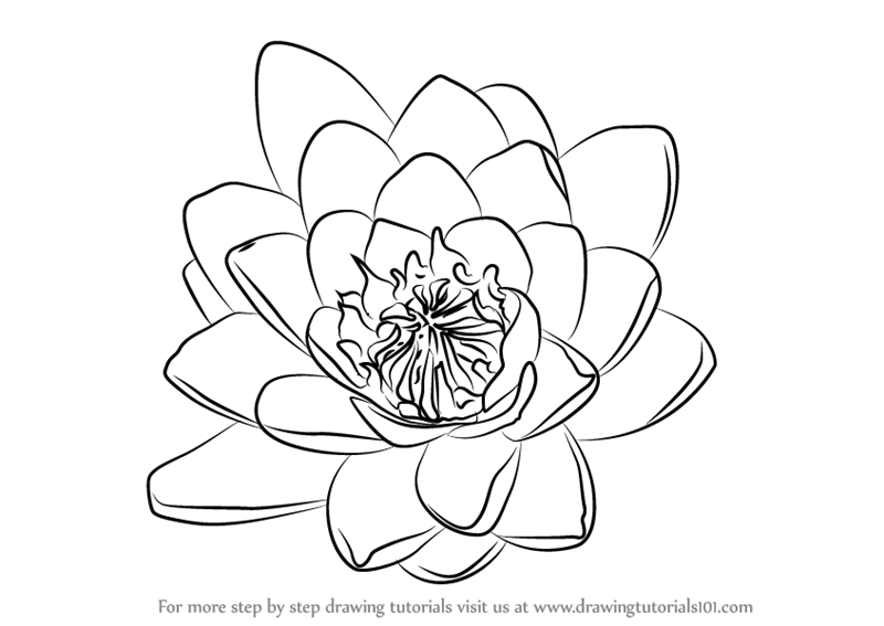 White water lily drawing