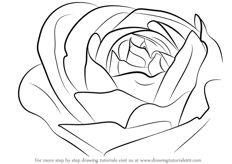 Learn how to draw a rose bud rose step by step drawing for How to draw a rose bush step by step