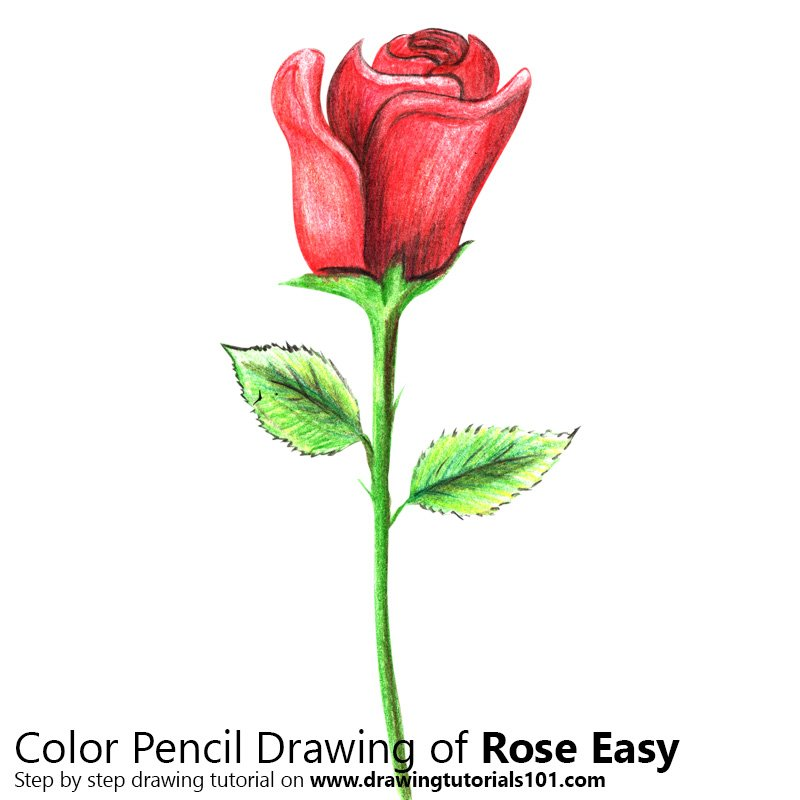 Rose Easy Colored Pencils Drawing Rose Easy With Color Pencils
