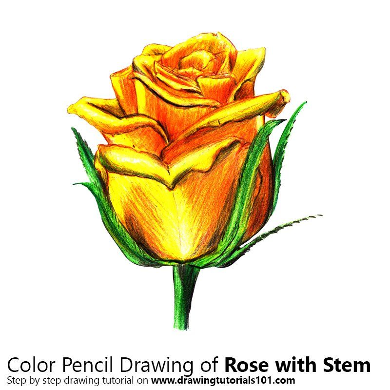 Rose with Stem Color Pencil Drawing