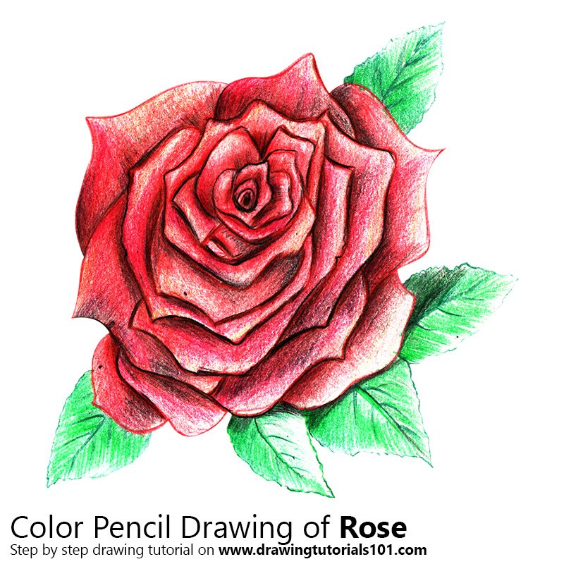 This is a graphic of Bright Rose Drawing Color