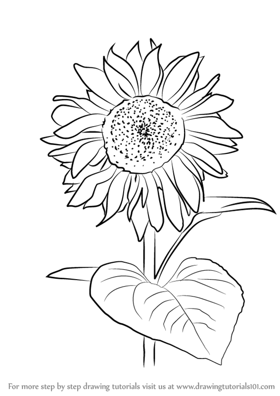 Learn how to draw sunflower plant sunflower step by step drawing tutorials