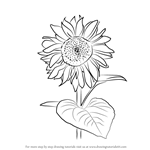 How to Draw Sunflower Plant