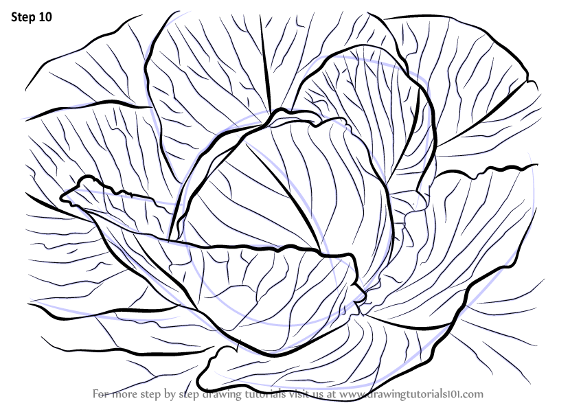 Learn How To Draw A Cabbage Plants Step By Step