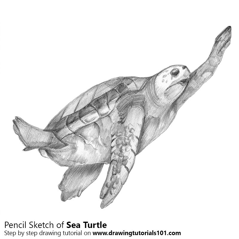 Pencil Sketch of Sea Turtle from Animal Jam - Pencil Drawing